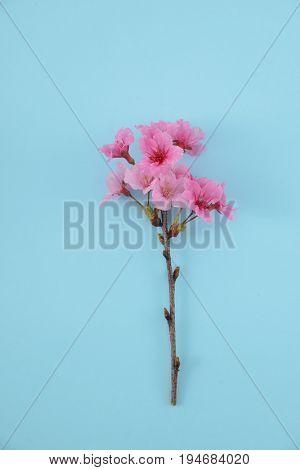 cherry blossom sakura and blue background