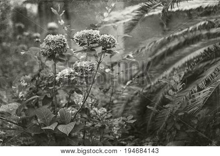 Artistic toned and textured photo of neglected garden featuring Hydrangeas and Sago Palm with a painterly vintage ambiance. Faux scratches and texture suggest glass plate processing.
