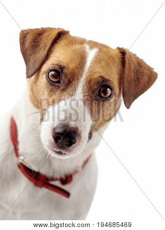 A portrait of Jack Russell Terrier dog, A white background. Isolated