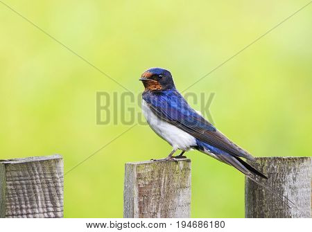 little funny bird the barn swallow is sitting on an old wooden fence in the summer