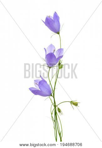 Three bellflowers isolated on white background.