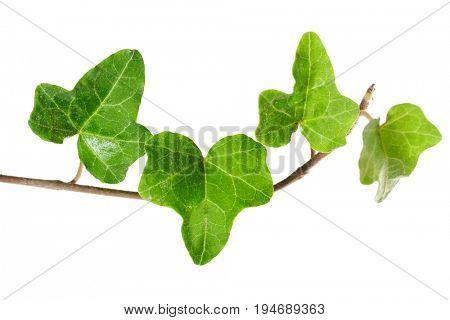 Ivy twig isolated on white background