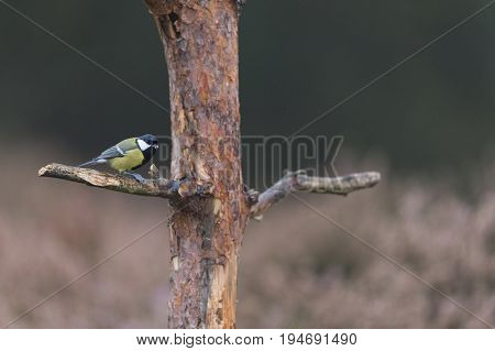 Great tit on branch in forest