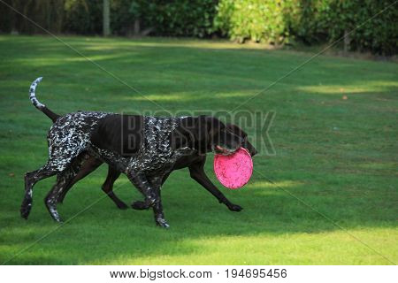 German Shorthaired Pointer male six years old playing with a toy
