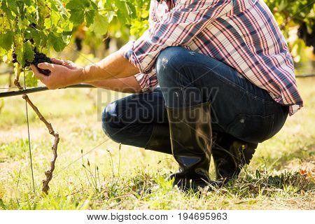 Low section of man touching grapes at vineyard on sunny day