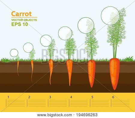 Vector illustration. Phases of growth of a carrot in the garden. Growth development and productivity of carrot. Growth stage. Distance between plants. Infographic concept