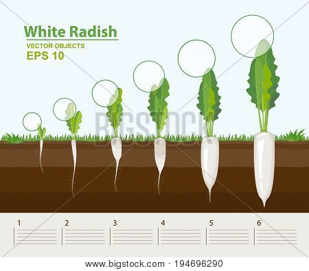 Vector illustration. Phases of growth of a white radish in the garden. Growth development and productivity of white radish. Growth stage. Distance between plants. Infographic concept