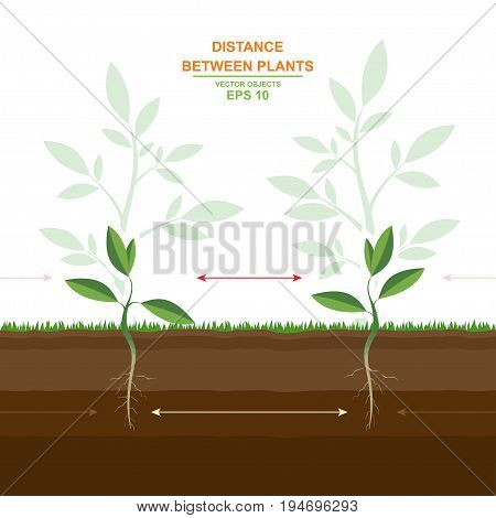 Vector illustration of proper planting. Spacing between plants. Planting distances guide. Optimal distance planting. Distance between plants. Helpful information