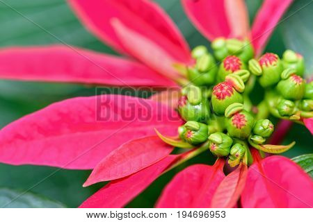 Close-up top red leaves and flower of Poinsettia or Euphorbia Pulcherrima