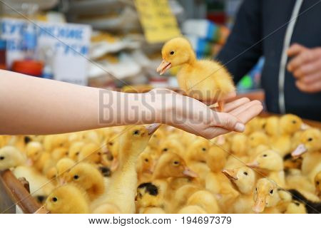 Woman holding little cute duckling in incubator