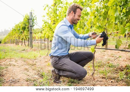 Full length of man cutting grapes at vineyard