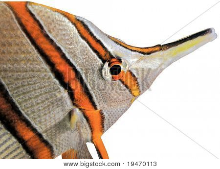 Butterflyfish isolated on white background