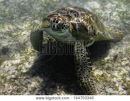 Green sea turtle eating sea grass at the bottom of the bay in St John USVI