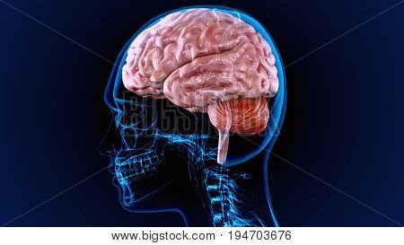 3d illustration of human body organ(brain anatomy)