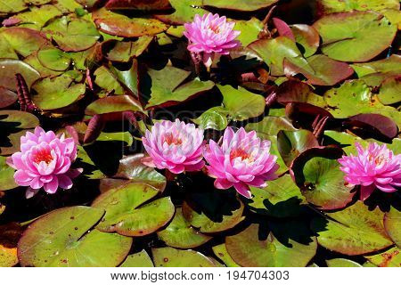 Pretty pink lotus flowers make a floral delight among the lily pads.