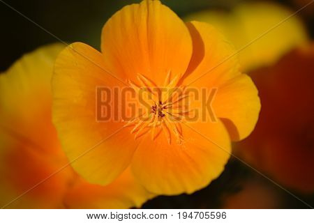The top view and macro closeup of the calyx from the California Golden Poppy.