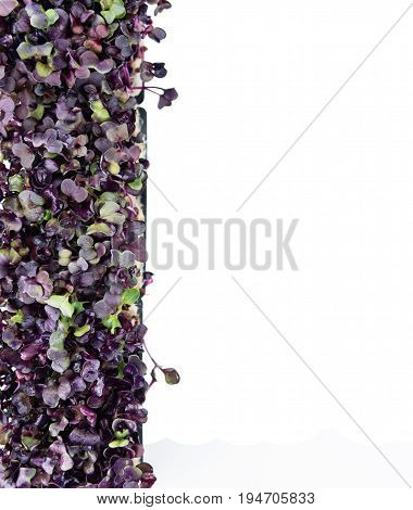 Portion Of Cress Isolated On White
