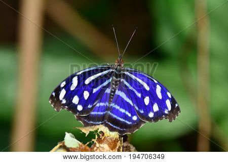 A pretty Cyaniris bluewing butterfly lands in the gardens for a visit with old cocoon mates.