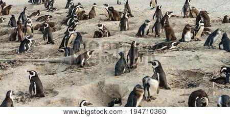 African Penguins (lat. Spheniscus Demersus) At Boulders Beach In Simonstown, South Africa