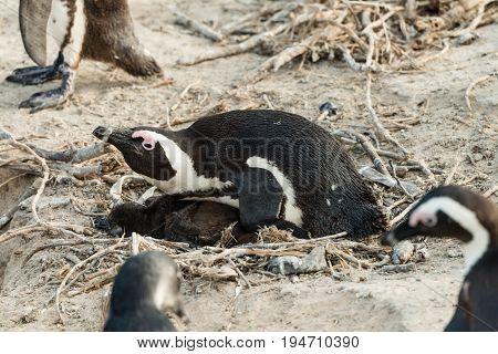 Breeding African Penguin (lat. Spheniscus Demersus) At Boulders Beach In Simonstown