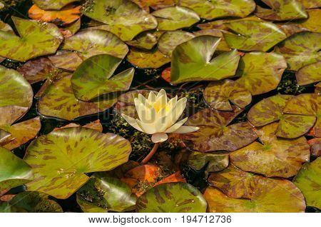 White Lotus Flower  lily pad background, glossy and vivid