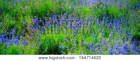 field lavender blur background wallpaper. selective focus. shallow depth of field