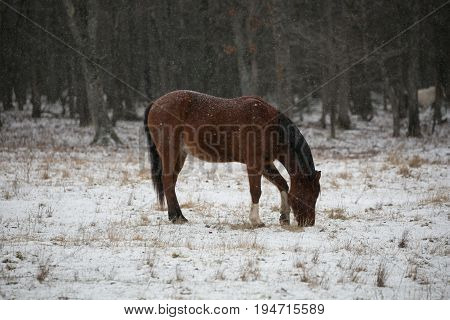 Quarter horse (equus caballus) with snow on its back eating in a Wisconsin snow covered pasture