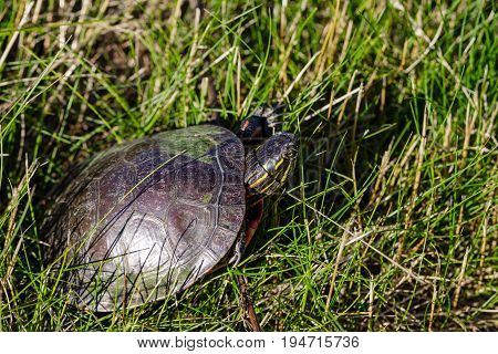Painted turtle (chrysemys picta) taking a walk around the shorline of a Wisconsin pond in July
