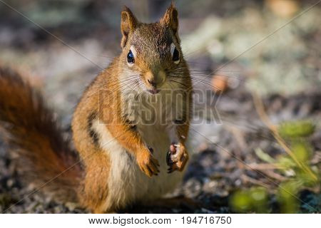 Feisty American Red Squirrel (Tamiasciurus hudsonicus) standing up with hands at side