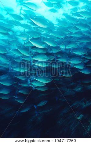 Raja Ampat, Indonesia, Pacific Ocean, School of elongate surgeonfish (Acanthurus mata) feeding on plankton