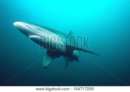 Aliwal Shoal, Indian Ocean, South Africa, tiger shark (Galeocerdo cuvieri) swimming in ocean