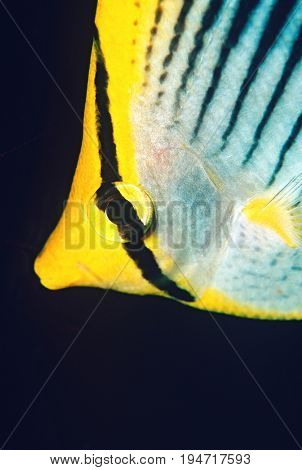 Raja Ampat, Indonesia, Pacific Ocean, spot-tail butterflyfish (Chaetodon ocellicaudus), close-up