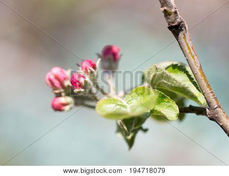 Beautiful flowers on a fruit-tree . A photo