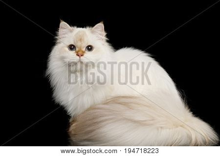 British breed Cat White color-point with magic Blue eyes and Furry tail Sitting on Isolated Black Background