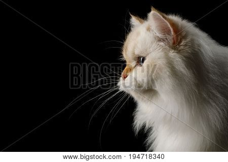 Portrait of Furry British Cat White color-point with adorable blue eyes on Isolated Black Background, profile view