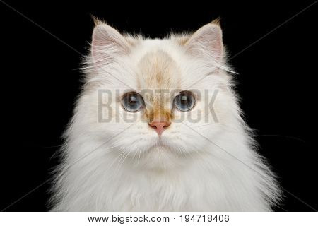 Portrait of Furry British Cat White color-point with adorable blue eyes on Isolated Black Background, front view