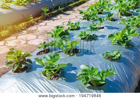 Strawberry Bush Growing In Agriculture Farm, Eco Friendly Gardening