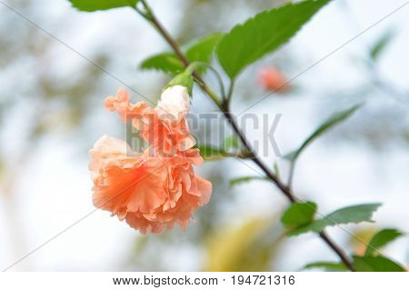Image of Hibiscus Flower In the natural garden