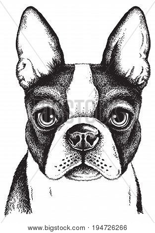 Black and white vector sketch of a Boston Terrier's face
