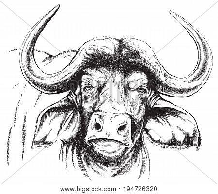 Vector sketch of an African Buffalo's face