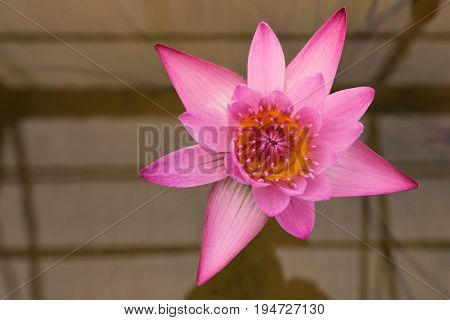 Top view of colorful waterlily or lotus in the tropical pond