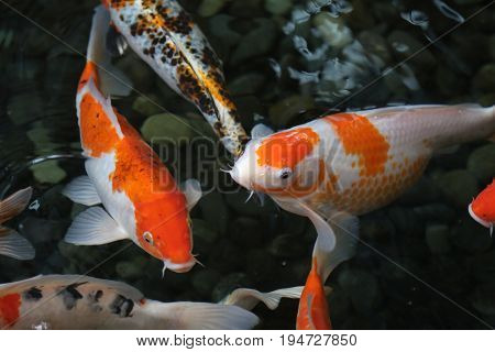 Beautiful hungry colorful fish swimming dark background