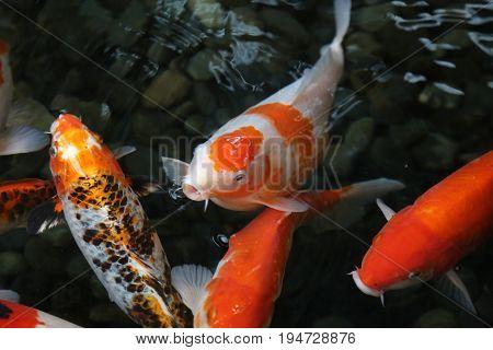 Orange white gold fish swimming pond dark background