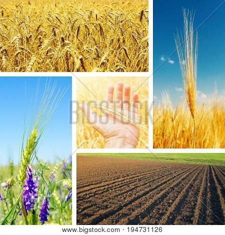 set with crop in fields. different seasons of the year. cereal concept
