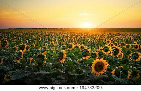 Sunflower fields during sunset. Digital composite of a sunrise over a field of golden yellow sunflowers.