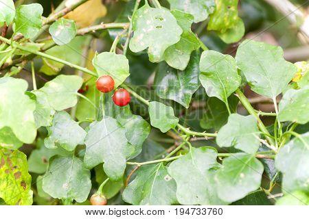 Vegetables and Thai herbs (Solanum trilobatum Linn.)