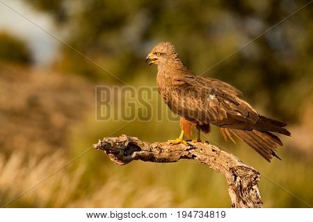 Adult of kite on a natural innkeeper. Milvus milvus
