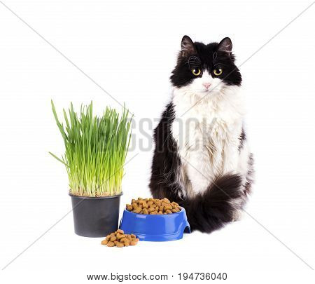 Cat with a bowl of dry food and green grass in pot isolated on white background