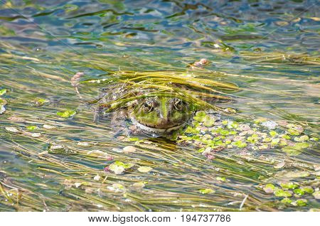 The frog disguised itself in river slime. Toad close-up against a background of green algae.