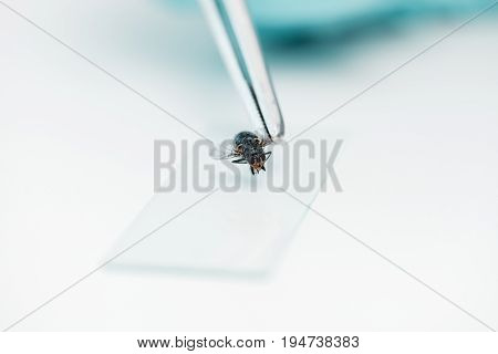 Close-up View Of Tweezers With Fly And Glass Microscope Slide During Experiment In Lab